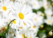 camomile flower flora white yellow