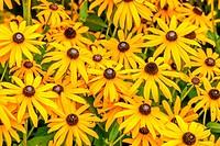 Yellow Rudbeckia Fulgida flowers