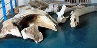 bones of whale