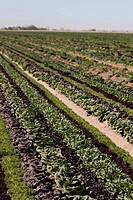 Rows of red and green lettuce