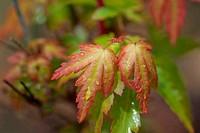 Spring Maple leaf