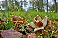 Sweet Chestnut Nuts Castanea sativa Cornwall; UK