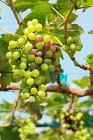fresh grapes in the vineyard