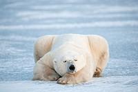 Polar bear (Ursus maritimus) lying down and sleeping on blue ice, Churchill, Manitoba, Canada.