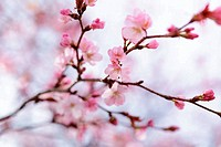 sakura cherry in bloom