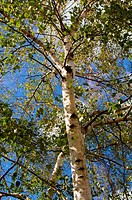birch closeup