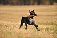 playing German wirehaired Pointer
