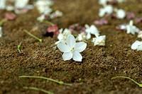 Macro shot of white flowers are fragrant (Wrightia religiosa Benth.).