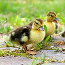 Group of ducklings on a green meadow