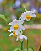 narcissus flowers closeup
