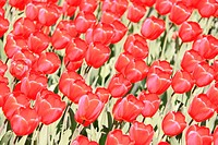 Red bright tulips