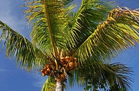 Coconut tree with coconuts against blue sky, Mauritius