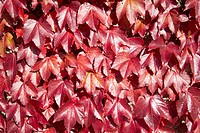 American Vine Leaves In Autumn