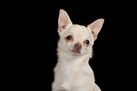 shorthaired Chihuahua portrait