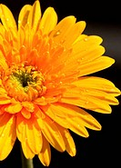 yellow gerbera flower,isolate