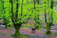 Beech forest, Otzarreta beech forest, Gorbeia Natural Park, Bizkaia, Basque Country, Spain, Europe.