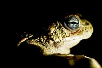 Natterjack toad (Bufo calamita) near of a pond in Valdemanco, Madrid, Spain.