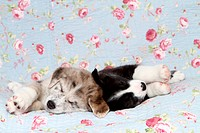2 Akita-Inu-Mongrel Puppies