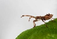 Dock bug aka Squashbug nymph - Coreus marginatus