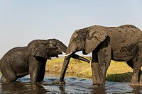 African Elephant (Loxodonta africana) - Cow on the left greets a bull at the bank of the Chobe River. Photographed from a boat. Chobe National Park, B...