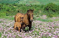 Mare with foal in a flowery spring meadow near Tarifa. Cadiz, Andalusia, Spain.