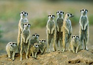 Suricate (Suricata suricatta) - Adults with young on the lookout at the edge of their burrow. Kalahari Desert, Namibia.