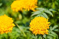 Yellow marigold flowers,Tagetes erecta.
