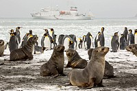 Antarctic Fur Seals and King Penguins at Gold Harbour on South Georgia, Southern Ocean.