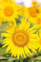 Yellow sunflower.