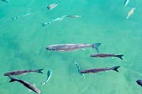 fishes mullet school in mediterranean saltwater