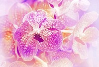Blooming orchid ,violet vanda orchid in blur background