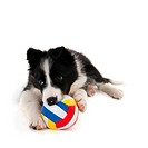 playing Border Collie puppy