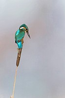 Common Kingfisher (Alcedo atthis) adult male, perched on reedmace seedhead, Suffolk, England, May