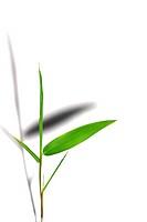 Isolated bamboo leaf