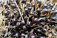 Close up of Palm Oil fruits