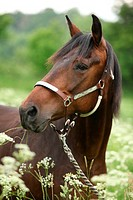 Beautiful brown mare with halter