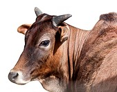 Portrait of Indian cows, isolated