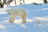 Polar bear (Ursus maritimus) mother with cub coming out freshly opened den, Wapusk national park, Canada.
