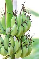 Green bananas on a tree closeup