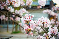 Sukura blossom in Japan