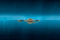 Swimming frog in water