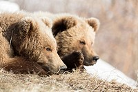 Brown bear (Ursus arctos), young resting, portrait, Kamchatka, Russia