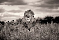 lion in masa mara national park. kenia.