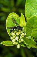 Eastern Sand Wasp (Bembix americana spinolae) Feeding on Indian Hemp (Apocynum cannabinum) Flowers.