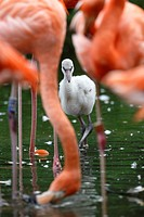 American flamingo, red flamingo, Chick, (Phoenicopterus ruber), captive, Germany