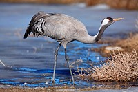 Crane (Grus grus) in the wildlife reserve Gallocanta. Zaragoza. Spain.