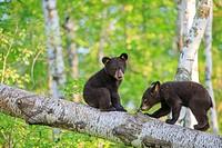 United States, Minnesota, Black bearUrsus americanus, youngs in a tree.