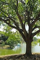 Tree near boat lake, Parque del Este, Caracas, Venezuela