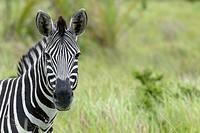 Plains zebra, also known as the common zebra or Burchell´s zebra (Equus quagga), formerly Equus burchellii). Western Shores. iSimangaliso Wetland Park...