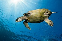 Hawksbill Sea Turtle, Eretmochelys imbricata, Komodo National Park, Indonesia.